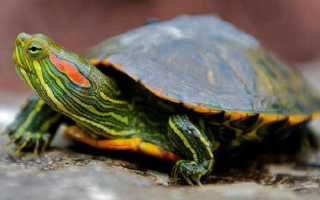 Лечение красноухой черепахи в домашних условиях