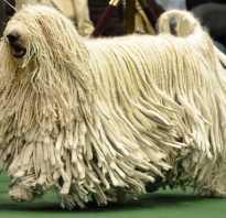 22 факта о породе собак похожей на швабру (комондор)