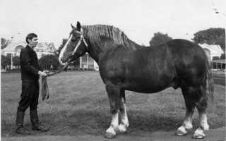 Советский тяжеловес лошадь