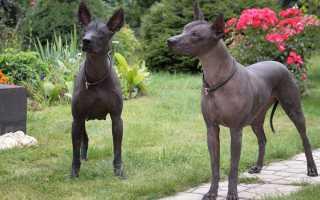 Мексиканская порода собак без шерсти