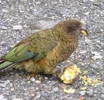 Попугай кеа новая зеландия