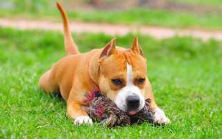 Дрессировка щенка стаффордширского терьера