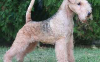 Описание породы собак Лейкленд терьер с отзывами владельцев и фото