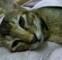 Вирусный и инфекционный перитонит у кошек: симптомы и лечение, можно ли вылечить
