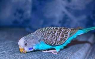 Голубые попугаи фото