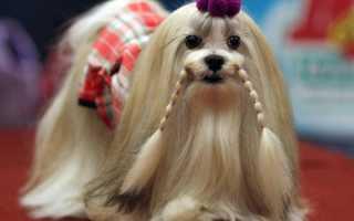 Порода собак выведенная тибетскими монахами 4