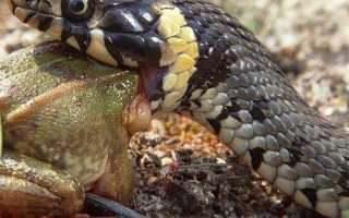 Серая змея с черной головой