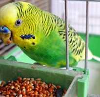 Что можно давать попугаю кроме корма