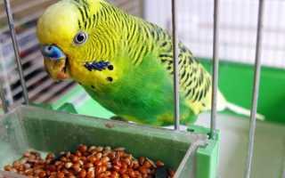 Чем можно кормить домашних волнистых попугаев