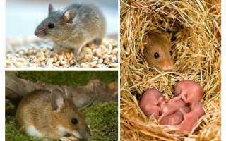 Сколько живет мышь продолжительность