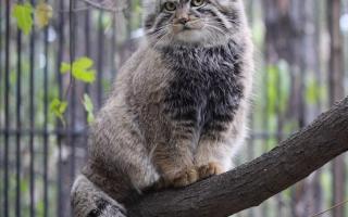 Топ 10 опасных пород кошек