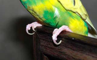 Можно ли стричь ногти попугаю волнистому