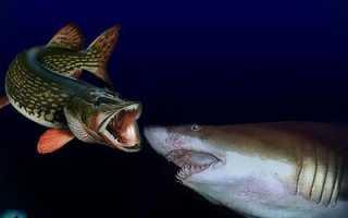 Акула живет в соленой воде