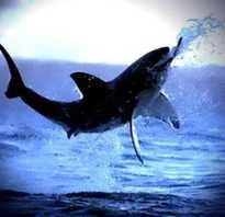 Как выглядит скелет акулы
