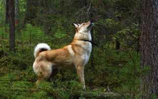 Фото лайки сибирской