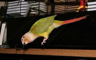 Как научить попугая чирикать