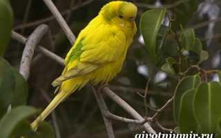 Получехи попугаи фото