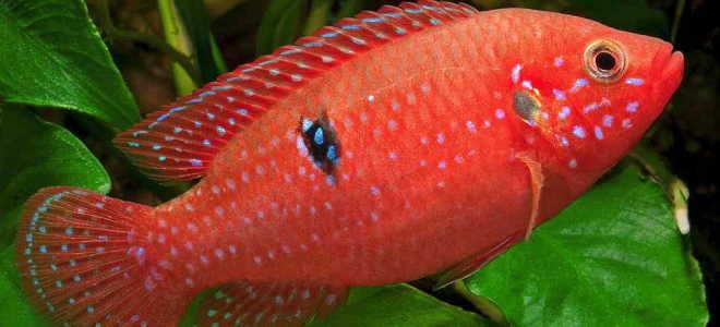 Хромис красавец: описание, содержание и разведение, совместимость с другими рыбками