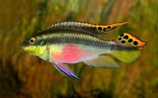 Рыбка попугай пельвикахромис