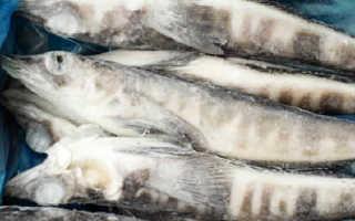 Ледяная рыба чем питается