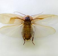 Летающие тараканы фото