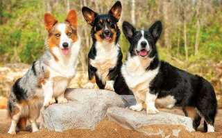 Корги порода собак окрас