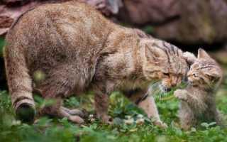 Китайская (горная) кошка или гобийская серая: фото, содержание