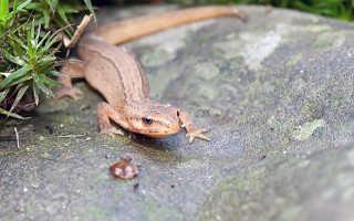 Тритон рептилия или амфибия