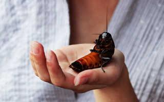 Тараканы размножение энтомир