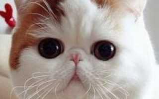 Кошки породы экзот описание породы