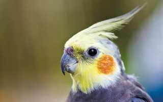 Попугай часто какает