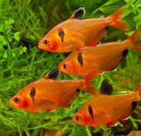 Миноры рыбки совместимость