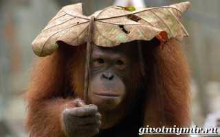Орангутанг красная книга сообщение 4 класс