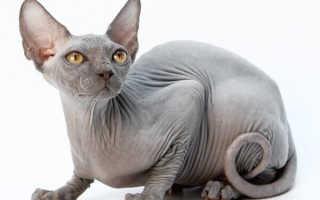 Сколько лет живут донские сфинксы кошки