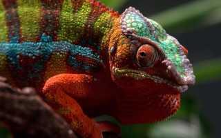 Особенность хамелеона менять свою окраску