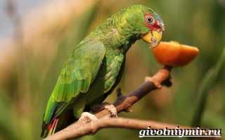 Попугаи амазоны фото