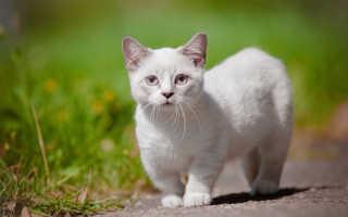 Порода кошек манчкин: описание и происхождение, окрас котов с короткими лапами, содержание и уход