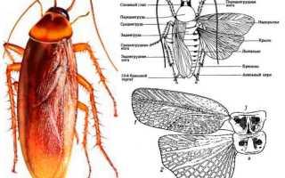 Ноги у таракана