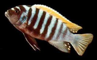 Рыбы Африки: малавийские цихиды и рыбы Танганьики