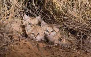 Котята барханной кошки впервые засняты в Африке