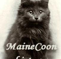 Происхождение кошки мейн кун