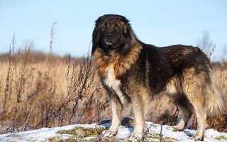Породы собак крупных размеров с фотографиями