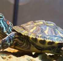 Породы черепах домашних
