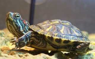 Виды домашних черепах фото и название