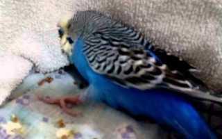 Судороги у попугая — что делать?