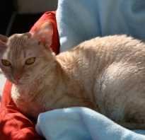 Кошки немецкий рекс: описание и стандарты породы