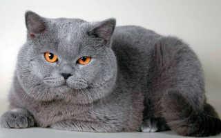 Чем кормить кошку британку