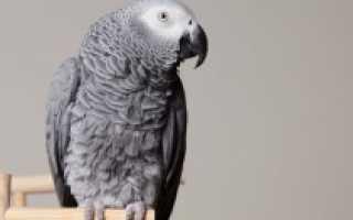 Попугай жако как выбрать