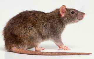К какому виду относится крыса