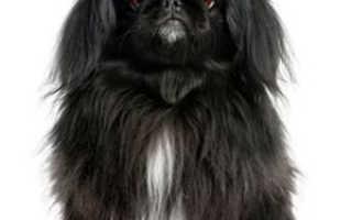 Пекинес: описание и характеристика породы собак, уход и содержание